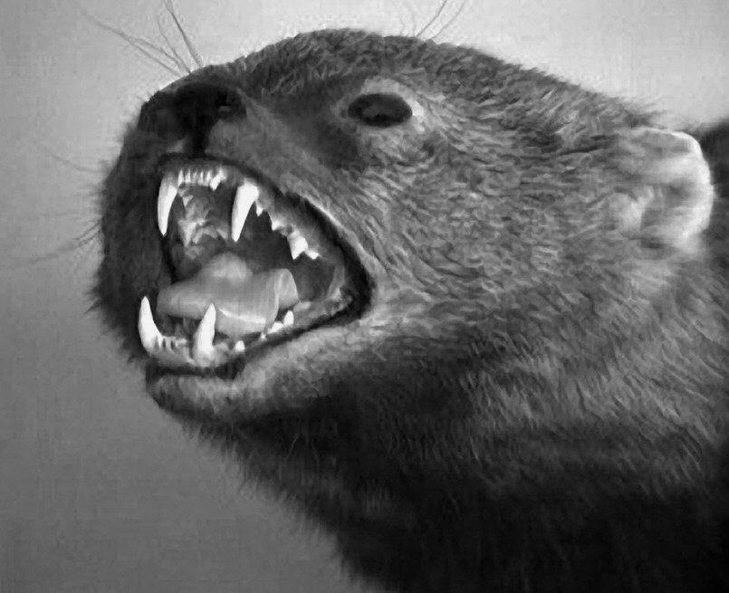 Fisher Cat Invasion Reality Or Urban Legend Jamestown Press